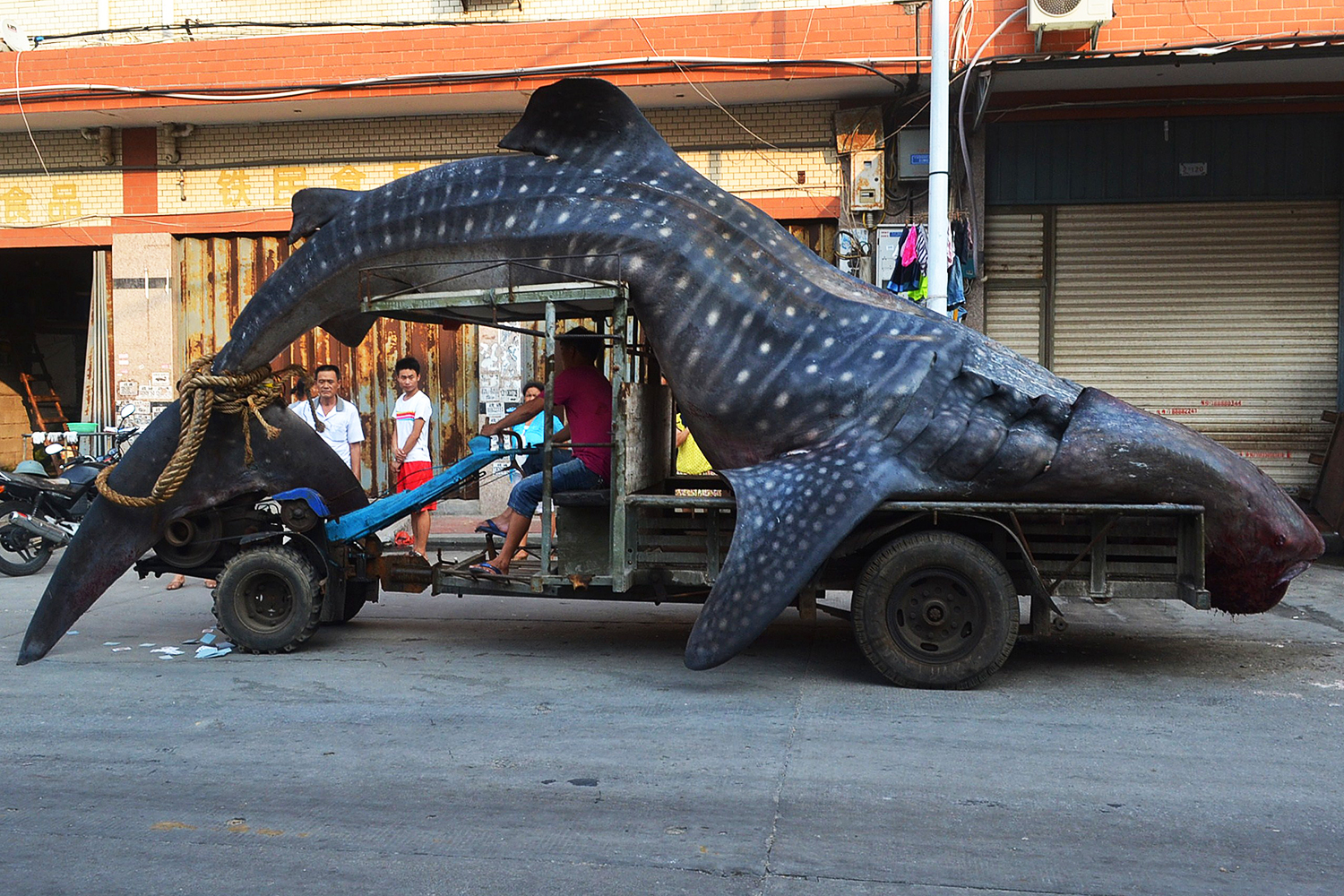 "This picture taken on August 1, 2014 shows a dead whale shark being carried on a tractor in a seafood wholesale market in Xiangzhi township in Quanzhou, east China's Fujian province.  Local fishermen caught the whale shark which they thought was a ""sea monster"" and reported to local police after returning from the sea, local media reported.   CHINA OUT   AFP PHOTOSTR/AFP/Getty Images"