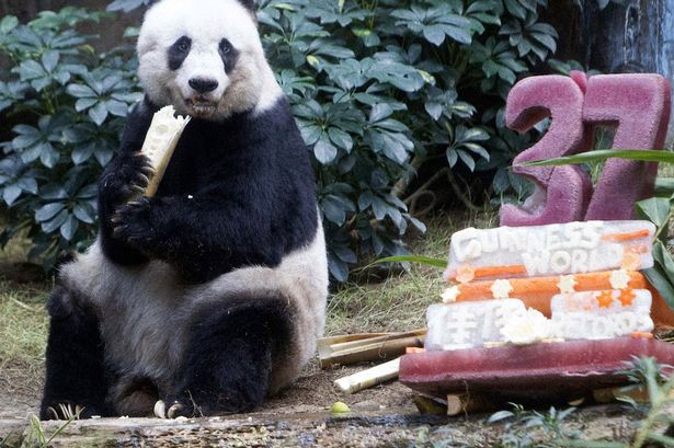 Tuck in: Jia Jia munches on her bamboo and vegetable ice cake