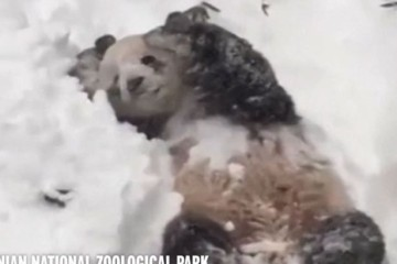Loving it: Tian Tian can't get enough of the snow in Washington DC