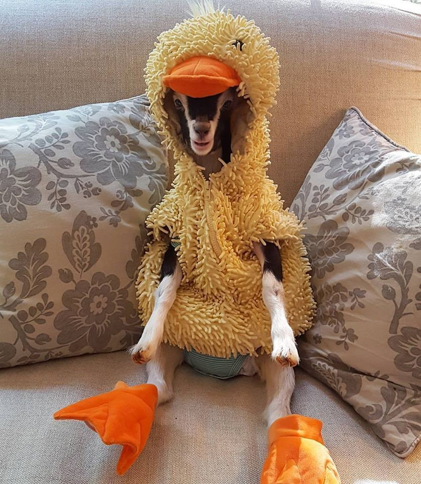 Polly the goat in her duck costume