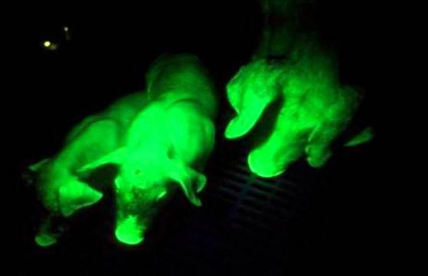Glow-In-The-Dark Pigs